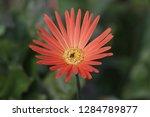 beautifyl gerbera flowers | Shutterstock . vector #1284789877