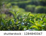 close up of tea leaf at local...   Shutterstock . vector #1284840367