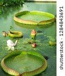 gigantic victoria waterlilies...   Shutterstock . vector #1284843691