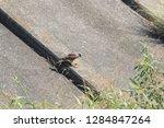 sturgeon living in an urban... | Shutterstock . vector #1284847264