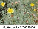 flowers in kirstenbosch...   Shutterstock . vector #1284852094