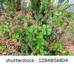 succulent plant with tiny red...   Shutterstock . vector #1284856804