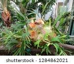 staghorn fern from madagascar...   Shutterstock . vector #1284862021