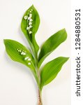 lily of the valley botanical...   Shutterstock . vector #1284880531