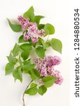 common lilac botanical board   Shutterstock . vector #1284880534