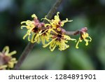hamamelis virginiana chunky...   Shutterstock . vector #1284891901