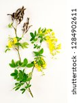 laburnum botanical board   Shutterstock . vector #1284902611