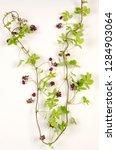akebia  botanical board   Shutterstock . vector #1284903064