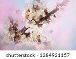 pink cherry blossom at sunny...   Shutterstock . vector #1284921157