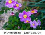 closeup of japanese anemone... | Shutterstock . vector #1284935704