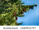 detail of tree with storbiles... | Shutterstock . vector #1284951757