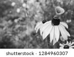 Rudbeckia Flower   Black Eyed...