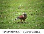 kestrel  falco tinnunculus ... | Shutterstock . vector #1284978061
