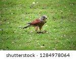 kestrel  falco tinnunculus ... | Shutterstock . vector #1284978064