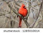 male northern cardinal | Shutterstock . vector #1285010014