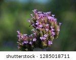 purpletop vervain tall...   Shutterstock . vector #1285018711