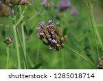 purpletop vervain tall...   Shutterstock . vector #1285018714