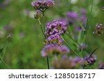 purpletop vervain tall...   Shutterstock . vector #1285018717