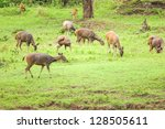 Deer Herd In Meadow Scene At...