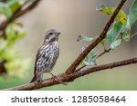 female purple finch perched on... | Shutterstock . vector #1285058464