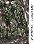 trees in subtropical rainforest ... | Shutterstock . vector #1285061284
