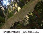 moss in subtropical rainforest... | Shutterstock . vector #1285068667