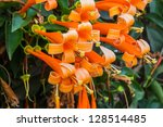 Orange Trumpet  Flame Flower ...