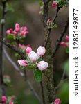 springtime. tree blossom... | Shutterstock . vector #1285149877