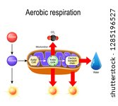 aerobic respiration. cellular... | Shutterstock .eps vector #1285196527