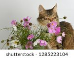 cute tabby colored long haired... | Shutterstock . vector #1285223104