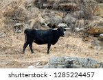 caucasian cattle breeding ... | Shutterstock . vector #1285224457