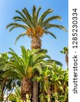 palm trees of different sizes... | Shutterstock . vector #1285230334