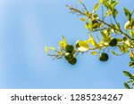 branch with growing limes... | Shutterstock . vector #1285234267