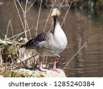 a greylag goose in the sunshine ... | Shutterstock . vector #1285240384