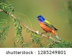 painted bunting  passerina... | Shutterstock . vector #1285249801