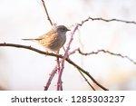 dunnock  prunella modularis ... | Shutterstock . vector #1285303237