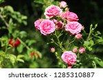 pink rosebush in the garden