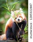 Beautiful Red Panda Or Lesser...