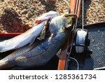 beautiful big sea fishes caught ...   Shutterstock . vector #1285361734