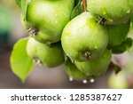 ripe pears with water drops on... | Shutterstock . vector #1285387627