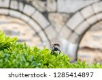 a male house sparrow  passer... | Shutterstock . vector #1285414897