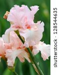 Pink Irises Blossoming In A...