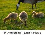 close up of three yellow...   Shutterstock . vector #1285454011