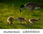 three yellow goslings at...   Shutterstock . vector #1285454014