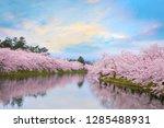 full bloom sakura   cherry... | Shutterstock . vector #1285488931