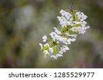 blooming cherry tree. spring...   Shutterstock . vector #1285529977