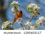 an adult male baltimore oriole  ... | Shutterstock . vector #1285603117