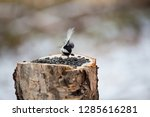 the coal tit parus ater sitting ... | Shutterstock . vector #1285616281
