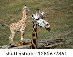 rothschild's giraffe  giraffa... | Shutterstock . vector #1285672861
