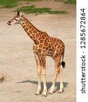 rothschild's giraffe  giraffa... | Shutterstock . vector #1285672864